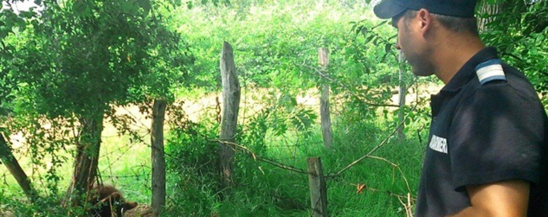 Pui de urs, prins într-un gard la Malu cu Flori (video)