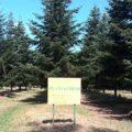 Direcţia Silvică Dâmboviţa: Ploile din acest an, benefice pentru plantaţii şi producţia de seminţe de brad şi larice