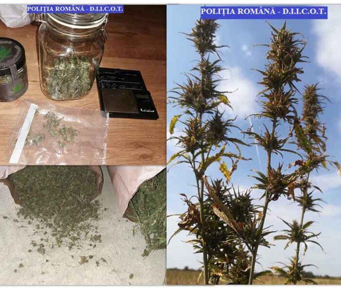 Dâmboviţa: Plantaţie de cânepă pe 6 hectare în Morteni; 250 kg de plante succeptibile a fi cannabis indisponibilizate