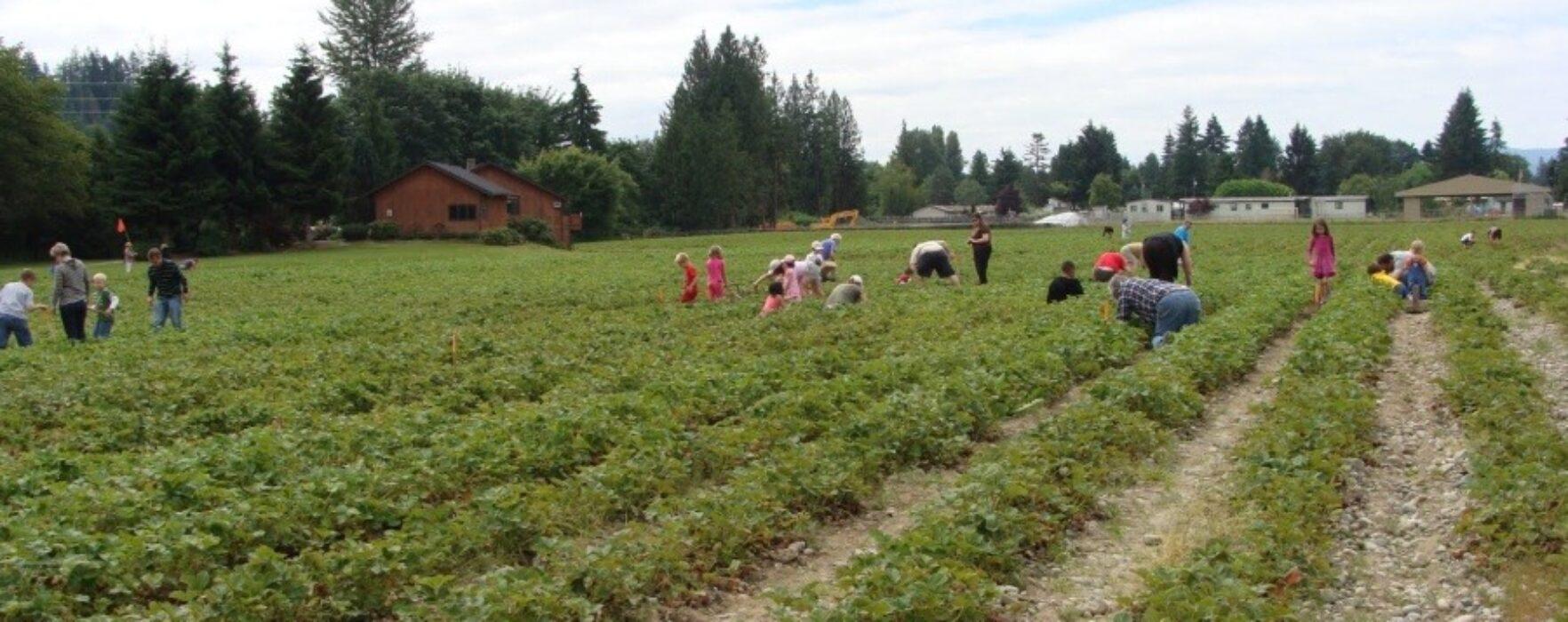 Se caută culegători de căpşuni în Danemarca
