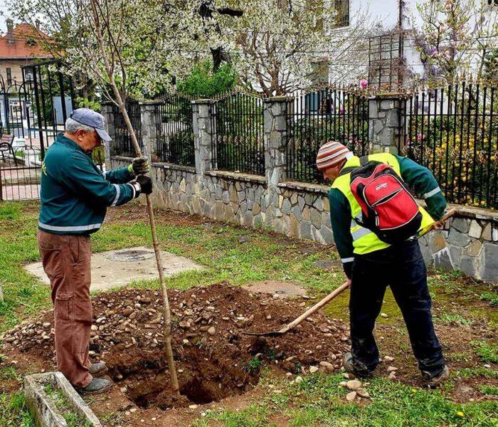 Primăria Târgovişte: Au fost plantaţi aproximativ 60 de castani pe Bulevardul Carol I