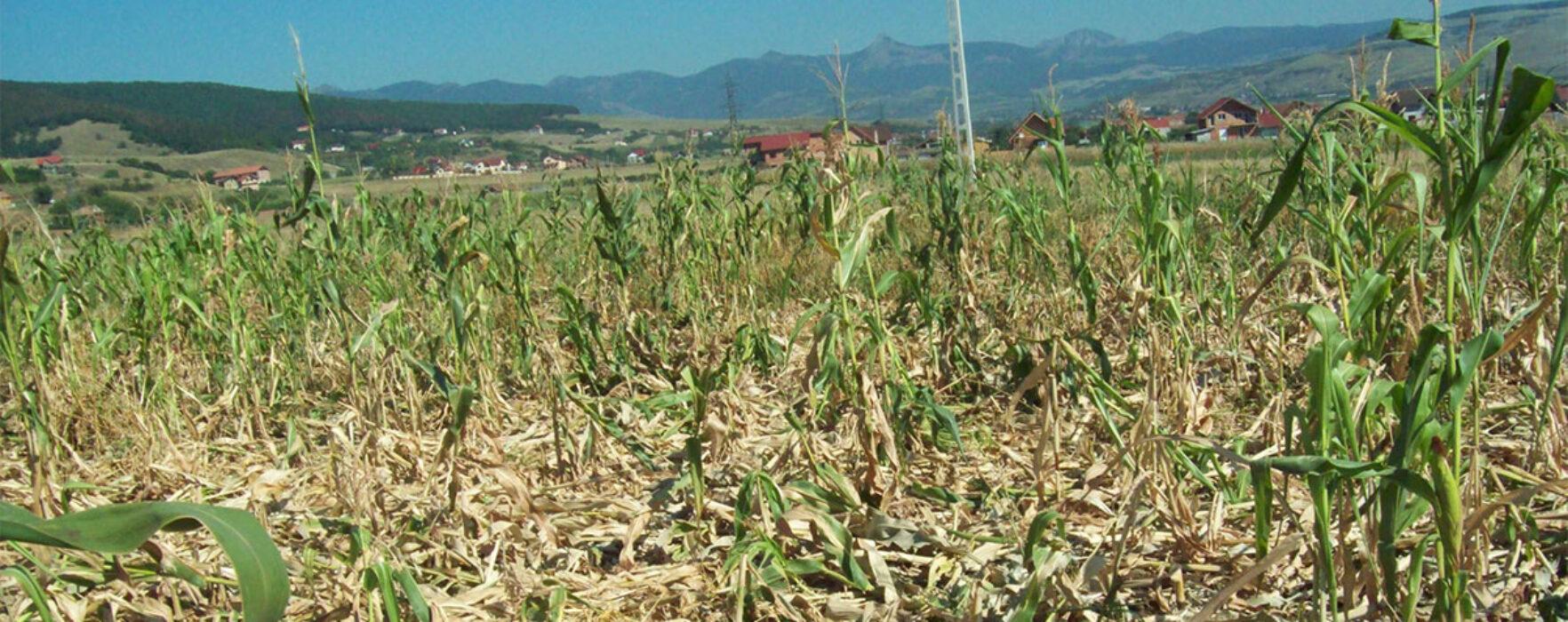 Dâmboviţa: Aproape 20.000 de hectare de culturi agricole, afectate de secetă în 2016