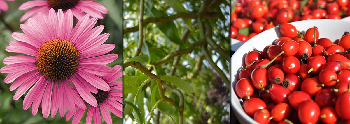 echinaceea-salcie-macese