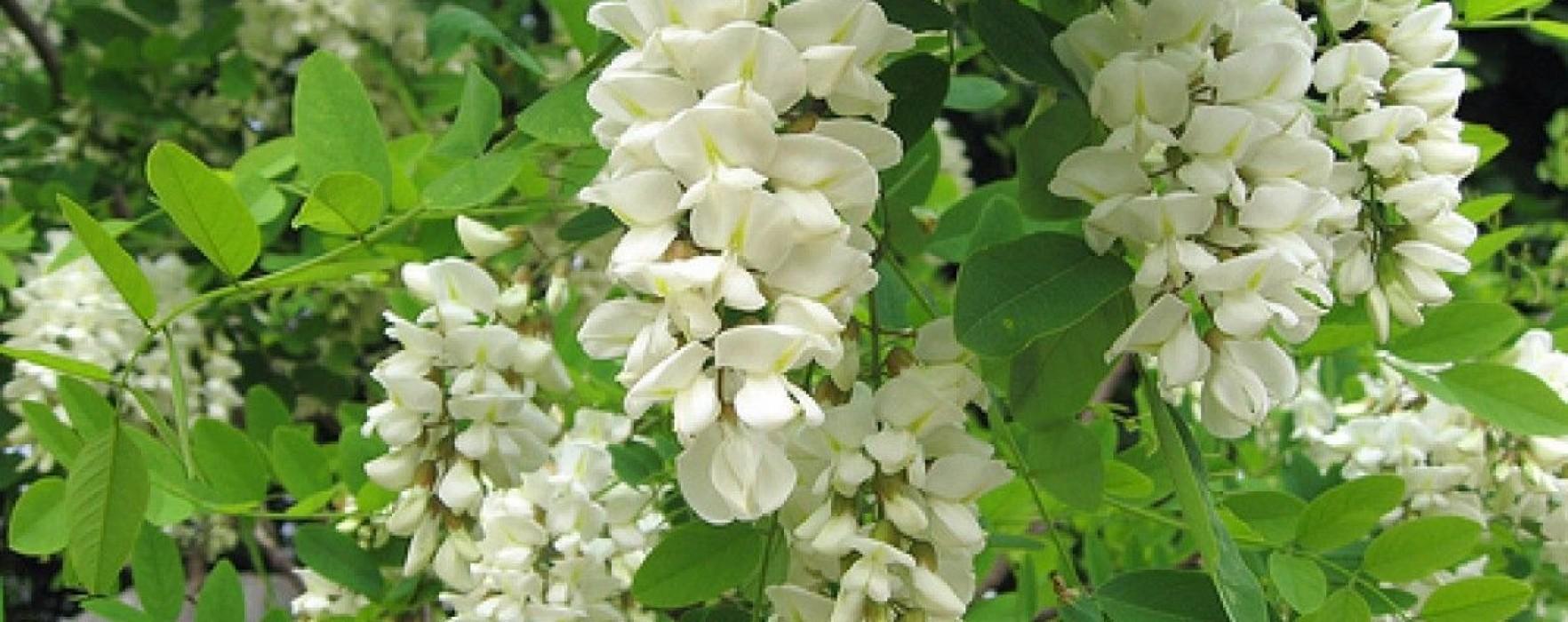 Citeşte cu poftă! – Chiftele din flori de salcâm