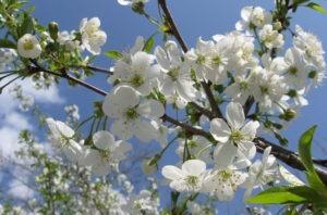 floricele-copac