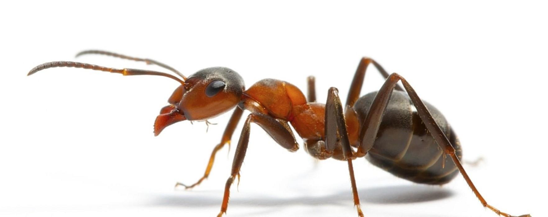 Cum scapi de furnici cu soluţii naturale
