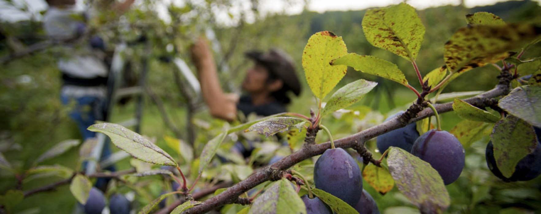 Dâmboviţa: Prinşi la furat de prune, s-au ales cu dosar penal