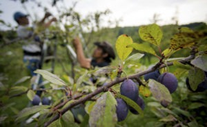 furt-prune