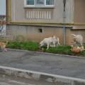 Târgovişte: E obligatoriu ca toţi câinii să fie ţinuţi în lesă pe stradă, iar stăpânii să aibă punguţe pentru a colecta excrementele