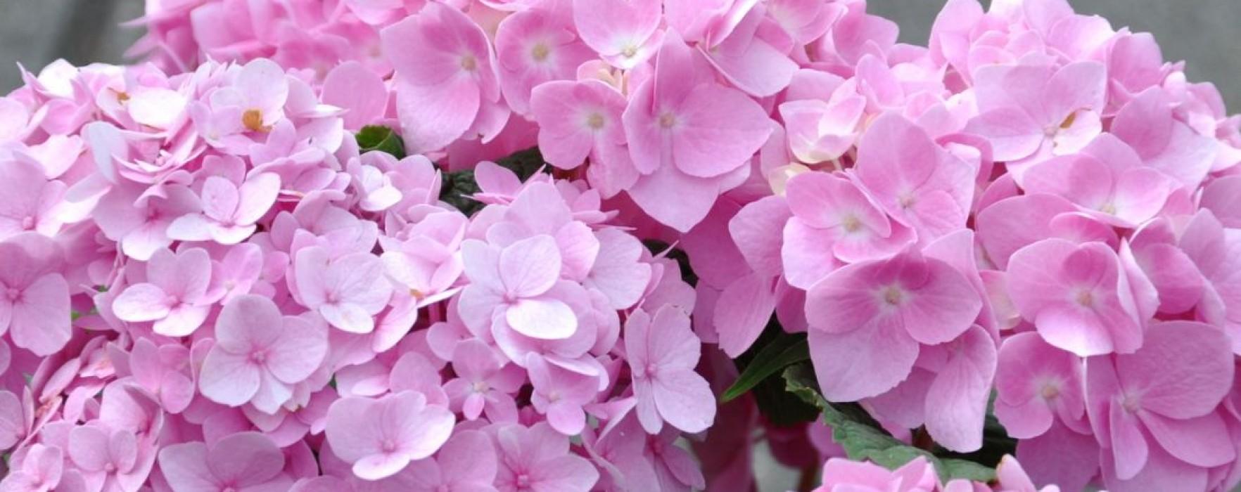 Hortensia – cum îi poţi schimba culoarea
