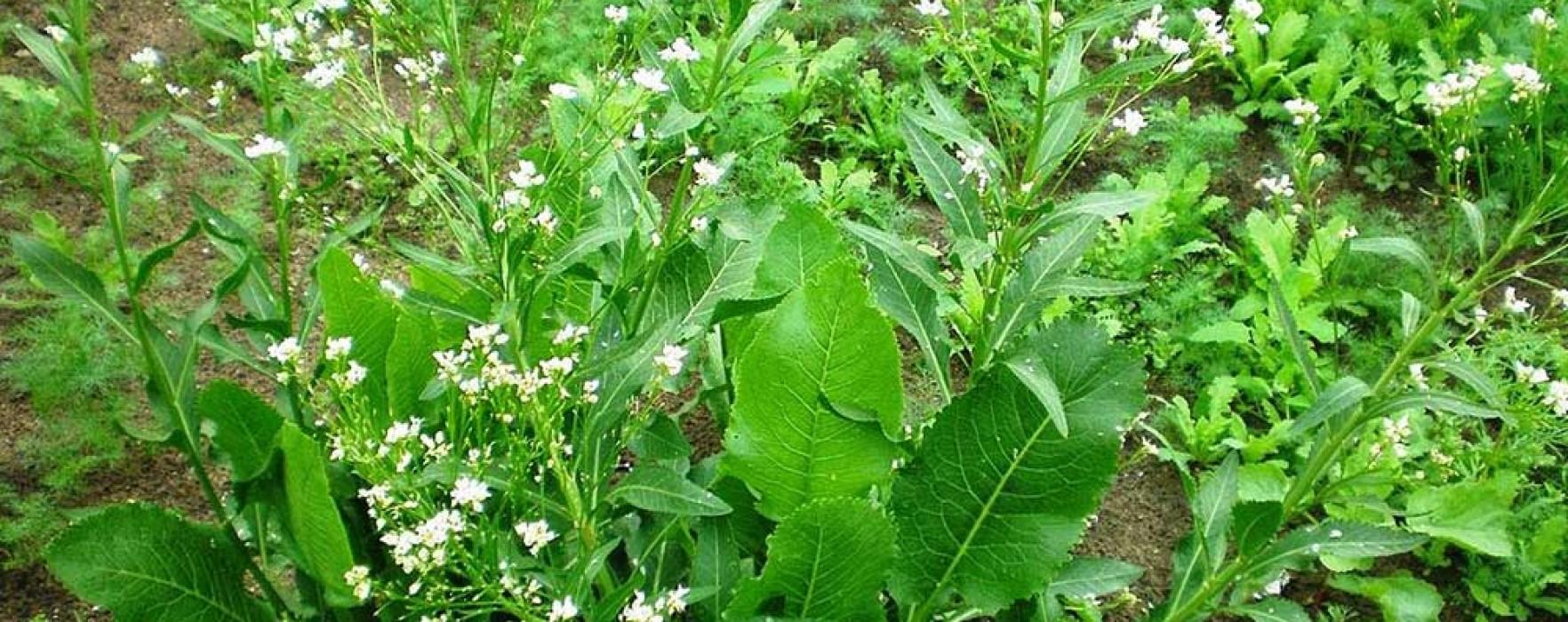 Hreanul, planta sanitar. De ce e bine să o plantezi printre legume sau lângă pomi