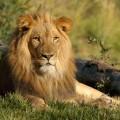 Dâmboviţa: Un bărbat din Braniştea deţinea ilegal doi lei în curte; animalele vor fi duse la zoo
