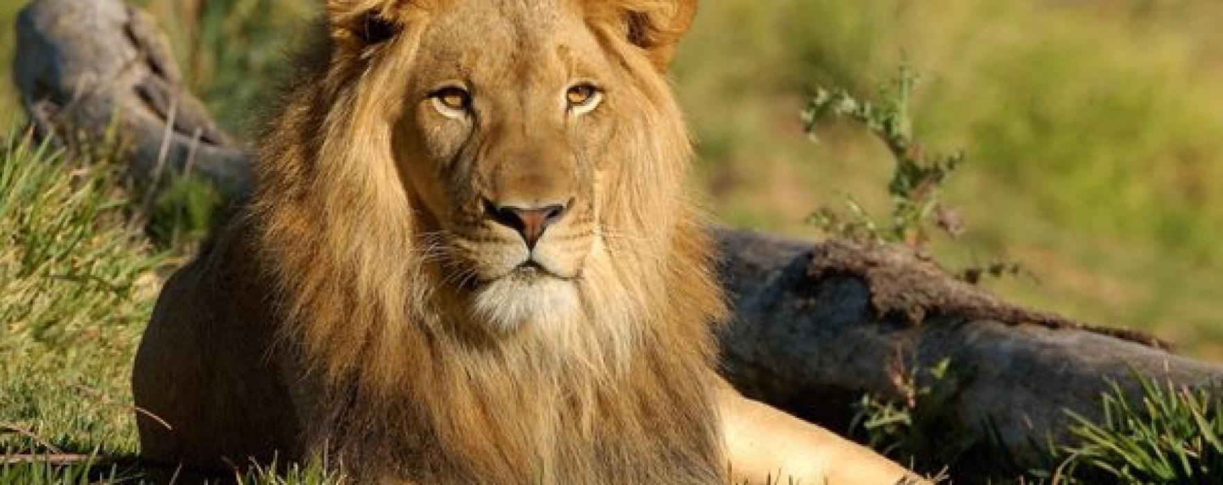 Femeie muşcată de un leu, la Dragodana