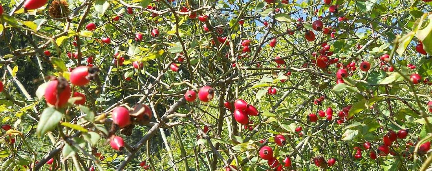 Direcţia Silvică Dâmboviţa: Zeci de tone de fructe de pădure, la export
