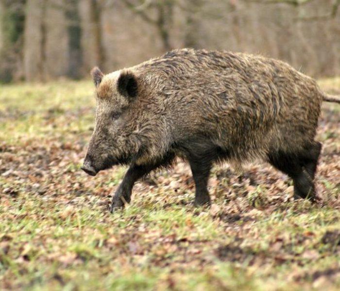 Dâmboviţa: Pestă porcină africană, confirmată în Butimanu la un porc mistreţ