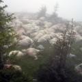 Dâmboviţa: Un cioban şi aproape 100 de oi au murit, după ce au fost trăsniţi