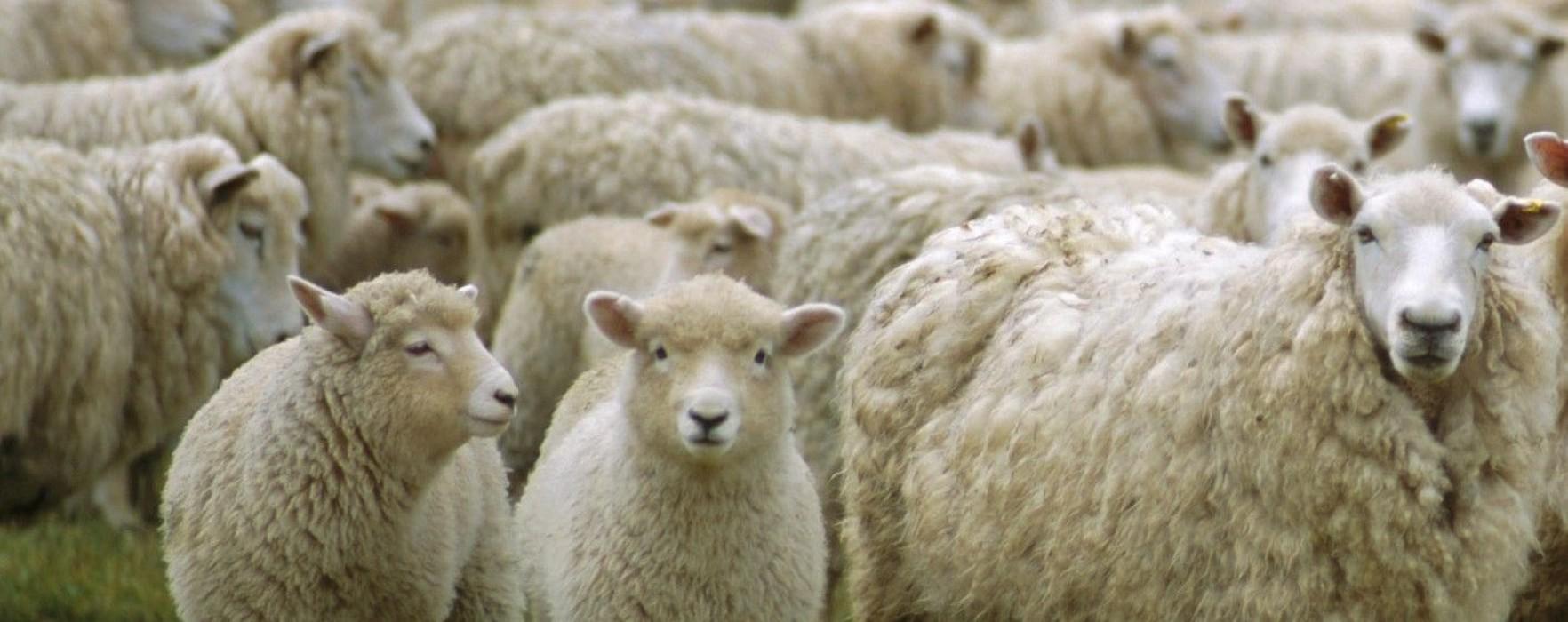 A fost furată o turmă de oi de pe un islaz dintr-o comună dâmboviţeană