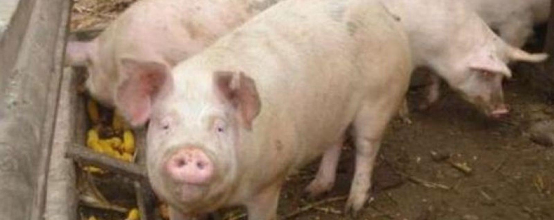 Dâmboviţa: Prins că transporta porci fără a avea documente sanitar-veterinare; animalele au fost eutanasiate