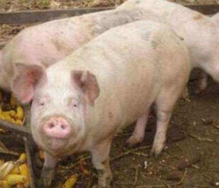 Dâmboviţa: Pesta porcină confirmată la Poiana