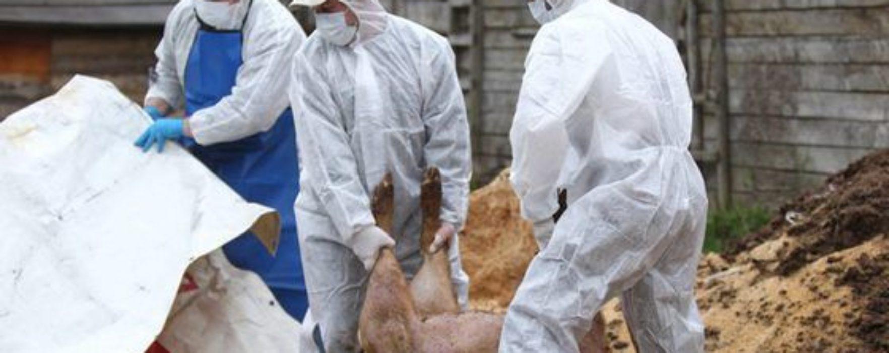 Dâmboviţa: Pestă porcină într-un fond de vânătoare şi în mai multe gospodării