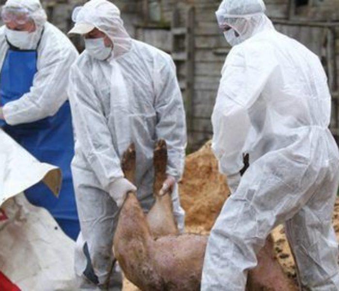 Dâmboviţa: Pestă porcină confirmată la Niculeşti, autorităţile au stabilit măsuri de combatere