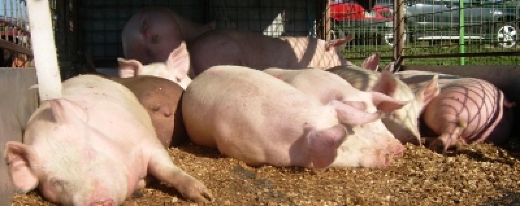 Dâmboviţa: Pesta porcină, confirmată în gospodării din Răcari şi Mătăsaru