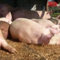 Dâmboviţa: Pestă porcină confirmată în trei localităţi, respectiv Niculeşti, Răzvad şi Lunguleţu