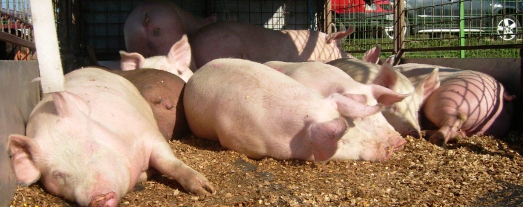 Dâmboviţa: Pesta porcină africană confirmată în gospodării şi la o fermă