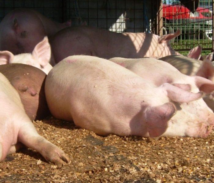 Dâmboviţa: Pesta porcină, confirmată in două fonduri de vânătoare şi mai multe gospodării
