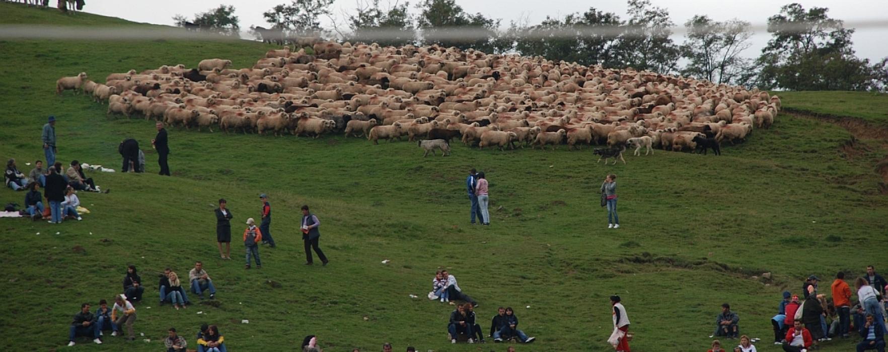 Răvăşitul oilor, în comuna Runcu