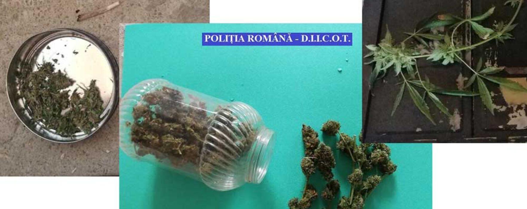 Dâmboviţa: Percheziţii la bănuiţi de trafic de droguri, cultură de cannabis descoperită la Băleni