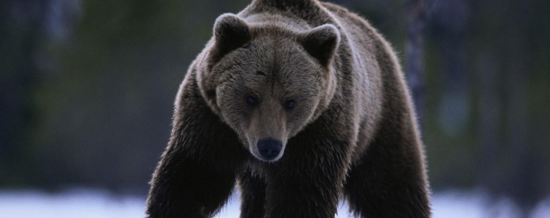 Ursul care a atacat un bărbat la Padina avea rabie