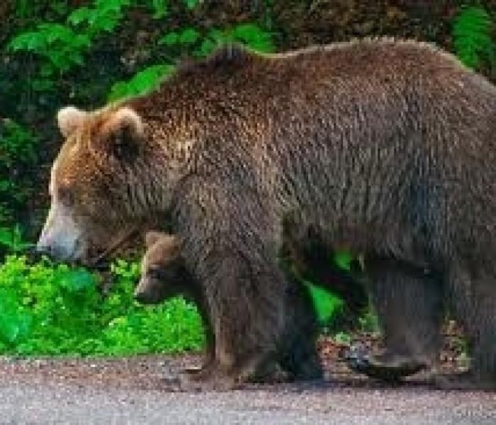 Două persoane din Vârfuri, atacate de urs
