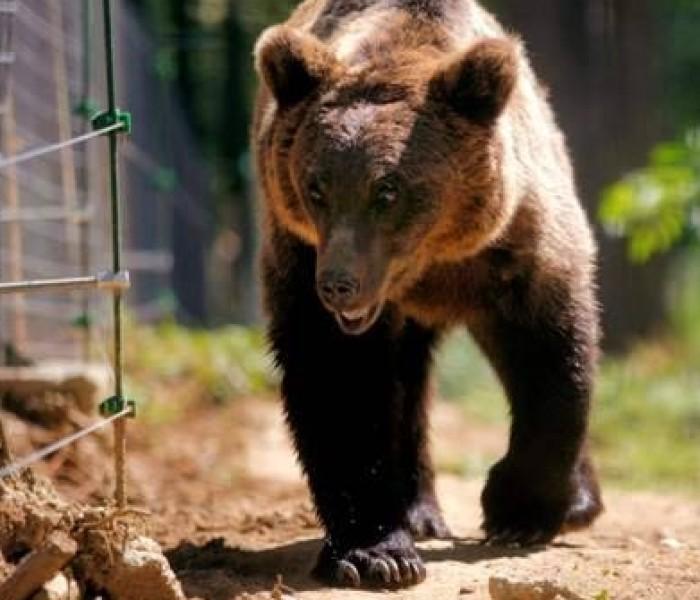 Un alt barbat a fost atacat de urs la Vârfuri