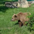 CJSU Dâmboviţa a declarat risc mediu de pericol privind apariţia unui urs în Pucheni