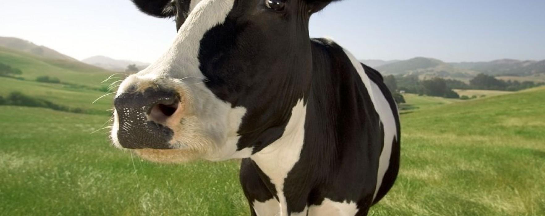 Boala vacii nebune, la o fermă în Dâmboviţa; carnea infestată urma să ajungă în magazine